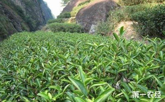 皖西黄大茶产地