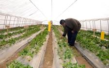 甘肃永靖:对13个脱毒草莓新品种进行试种