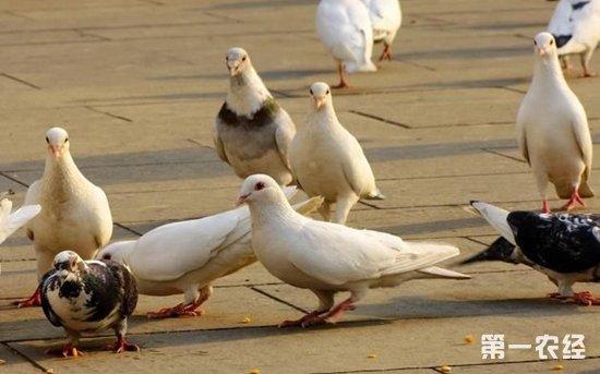 鸽子养殖 鸽子养殖场消毒要注意什么