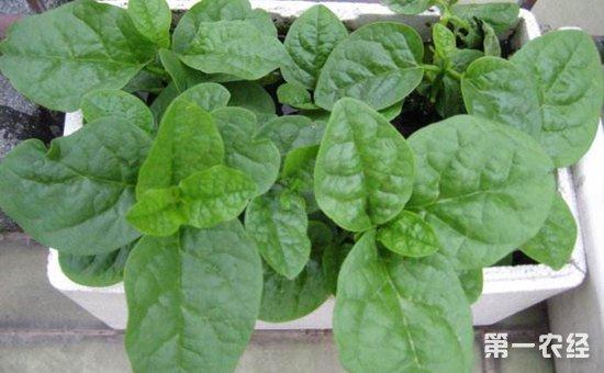 在阳台种上这6种蔬菜,边吃边长,想吃多少有多少!