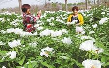 河南孟州:推广油用牡丹种植 不断拉长牡丹产业链条