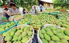 """广西百色:大力发展""""地标""""水果 促进种植业的发展"""