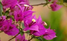 叶子花怎么养 叶子花的养殖方法