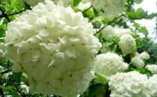 琼花怎么种 琼花的种植方法