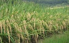 我国科学家优化组合了水稻 实现高产优质水稻设计育种