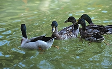 鸭腹水症了怎么办?鸭腹水症的方法