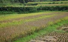 湖南:稳粮优经扩饲 集中力量建设粮食核心功能区