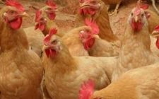 <b>如何做好黄羽肉鸡的饲养管理?</b>