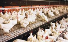 <b>九个饲养技巧提高肉鸡生产水平</b>
