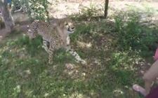 南非野生动物园猎豹突然袭击中国游客