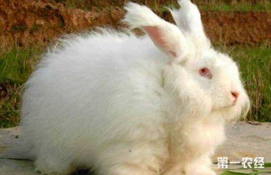兔子拉稀怎么办 兔子拉稀的治疗的方法