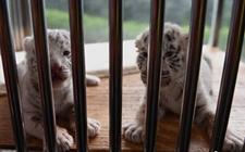 重庆动物园:两只白虎首次出生在动物园