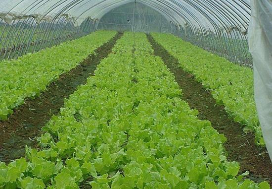 夫妻携手种植蔬菜目标毛收入三十万元