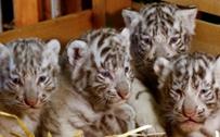 奥地利白色动物园:迎来呆萌无比的四胞胎小白虎