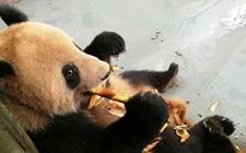 上海动物园开启美食季 熊猫吃笋大快朵颐