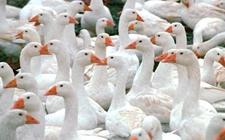 春季如何养好鹅?春季养鹅如何使鹅多产蛋