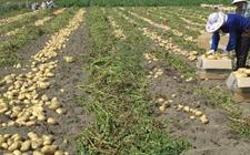 <b>马铃薯的发展前景如何?种植马铃薯国家有补贴</b>