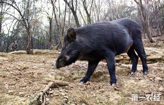 野猪属于国家级保护动物