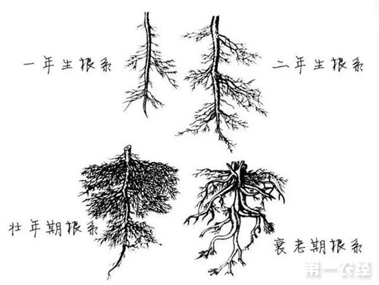 不同年龄的茶树根