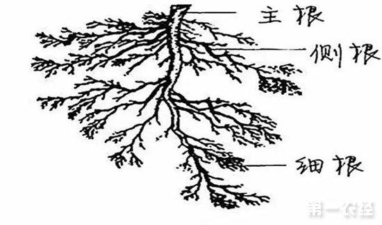 一片茶叶手绘线稿