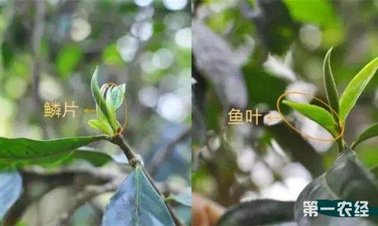 茶树构造 茶树的六大器官全方位图解