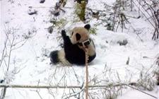 野外生存一年的大熊猫倩倩长胖十八斤 基地再训六只熊猫野化