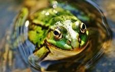 青蛙黏液有望抗H1型流感病毒