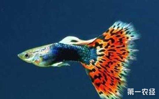水蚯蚓养殖技术_凤尾鱼怎么养 凤尾鱼的养殖技术 - 养殖技术 - 第一农经网