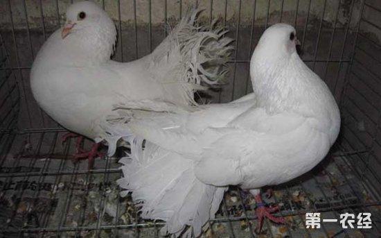 鸽子怎样培育 鸽子培育的注意事项