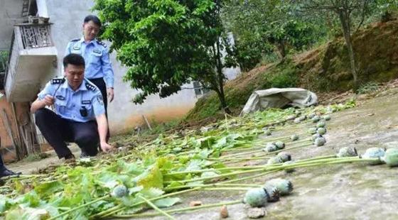 广西两老汉非法种植罂粟119株被捕