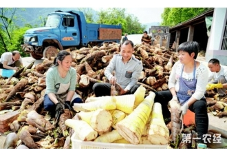 贵州赤水:10万吨春笋上市 当地村民乐开怀