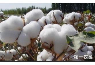 棉花后期生长管理技术要点介绍