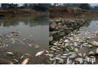 广西南宁:邕江江湾浮现大量死鱼 未见油污死因不明