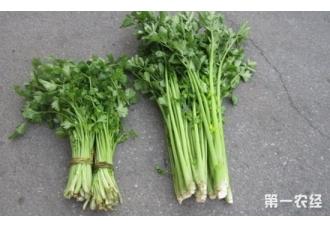西芹是芹菜吗?西芹与芹菜的区别