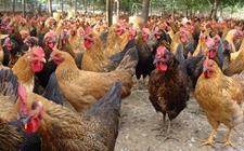 土鸡分群饲养的四大管理新招是什么?