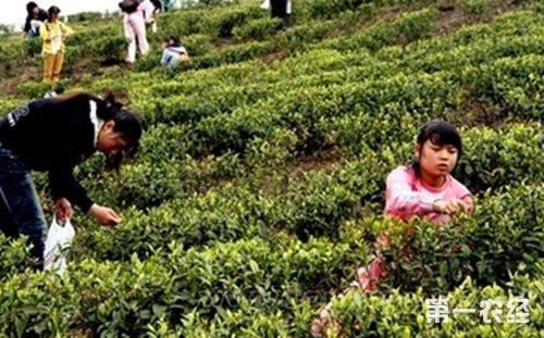 贵州思南县:茶园投产面积突破10万亩