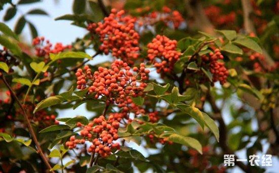 花椒树根的作用_花椒有什么功效作用?花椒树的种植技术 - 种植技术 - 第一农经网