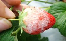 草莓有哪些病虫害?草莓常见病虫害的防治方法