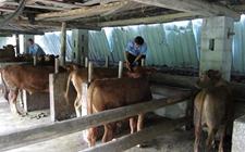 新疆:发生两起输入性牛A型口蹄疫疫情