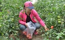 内蒙古五原:水果柿子推动特色纯绿色农产品发展