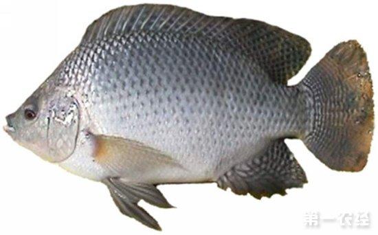 养罗非鱼喂什么好_罗非鱼怎么养才好_一年可以养几次罗非鱼