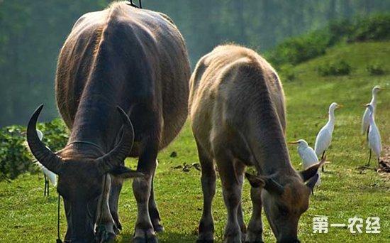 如何养水牛 水牛的养殖技术