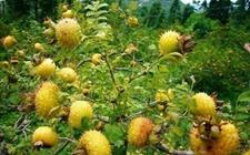 刺梨种植:刺梨种植的果园管理技术