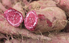 紫薯受病害侵染怎么办?紫薯常见病害的防治方法