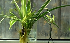 5种适合水培的花卉植物介绍!干净不烂根解决浇