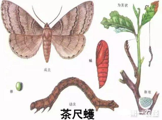 福建茶园管理:5-6月份茶树常见病虫害