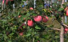 """苹果树种植:苹果树补钙要避免这""""四大误区"""""""