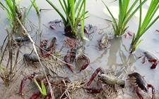 湖北潜江:富硒稻虾综合种养提高产业价值