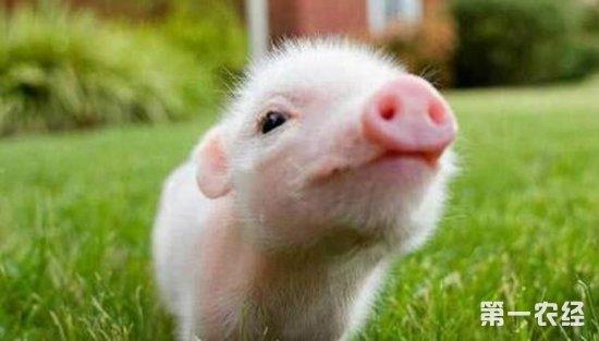 一群可爱小猪图片