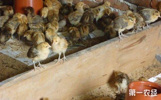 你知道散养土鸡雏鸡的饲养管理新法是什么吗?